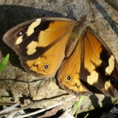 Heteronympha merope (Common Brown) at Woollamia, NSW - 30 Apr 2015 by christinemrigg