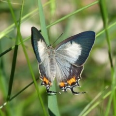 Jalmenus evagoras (Common Imperial Blue) at Sanctuary Point, NSW - 1 Feb 2016 by christinemrigg