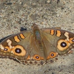 Junonia villida (Meadow Argus) at Sanctuary Point - Basin Walking Track Bushcare - 30 Apr 2015 by christinemrigg
