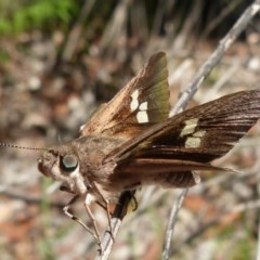 Mesodina halyzia (Eastern Iris-skipper) at Jervis Bay, JBT - 24 Dec 2018 by christinemrigg