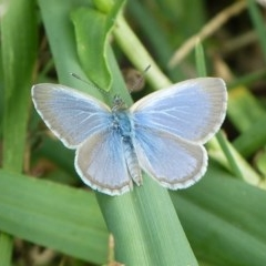 Zizina otis labradus (Common Grass-blue) at Sanctuary Point - Basin Walking Track Bushcare - 30 Apr 2015 by christinemrigg