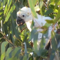 Cacatua galerita (Sulphur-crested Cockatoo) at Flynn, ACT - 31 May 2019 by Christine