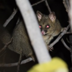 Trichosurus vulpecula (Common Brushtail Possum) at Illilanga & Baroona - 29 May 2019 by Illilanga