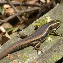 Eulamprus quoyii (Eastern Water-skink) at Woollamia, NSW - 17 Dec 2015 by christinemrigg
