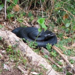 Pseudechis porphyriacus (Red-bellied Black Snake) at Woollamia, NSW - 9 Mar 2012 by christinemrigg
