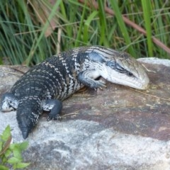 Tiliqua scincoides (Eastern Blue-tongue) at Woollamia, NSW - 11 Oct 2012 by christinemrigg