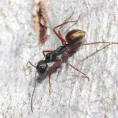 Camponotus suffusus (Golden-tailed sugar ant) at ANBG - 30 May 2019 by TimL