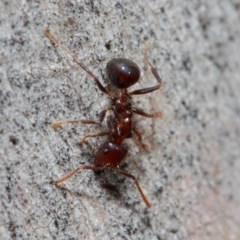 Notoncus gilberti (Smooth Epaulet Ant) at ANBG - 30 May 2019 by TimL