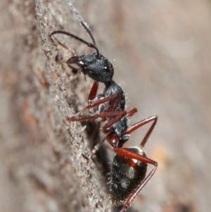 Camponotus suffusus at ANBG - 30 May 2019