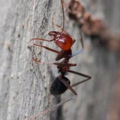 Iridomyrmex purpureus (Meat Ant) at ANBG - 30 May 2019 by TimL