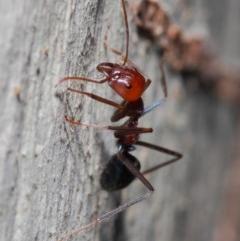 Iridomyrmex purpureus (Meat Ant) at ANBG - 30 May 2019 by TimL