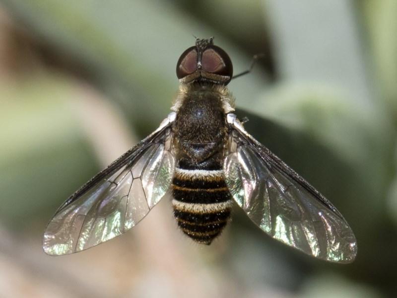 Villa sp. (genus) at Michelago, NSW - 18 Nov 2018