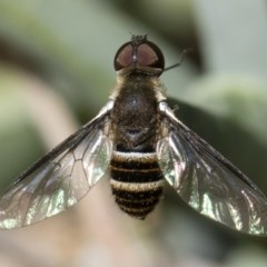 Villa sp. (genus) (Unidentified Villa bee fly) at Illilanga & Baroona - 18 Nov 2018 by Illilanga