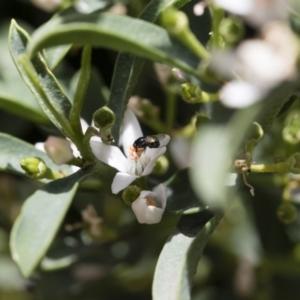 Melanina sp. (genus) at Michelago, NSW - 18 Nov 2018