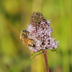 Apis mellifera (European honey bee) at Point Hut to Tharwa - 27 Mar 2019 by michaelb