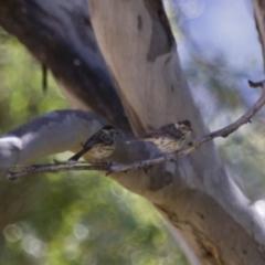 Pyrrholaemus sagittatus at Michelago, NSW - 2 Feb 2015