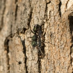 Rhytidoponera metallica (Greenhead ant) at Illilanga & Baroona - 10 Sep 2018 by Illilanga