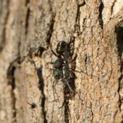 Rhytidoponera metallica (Greenhead ant) at Michelago, NSW - 10 Sep 2018 by Illilanga