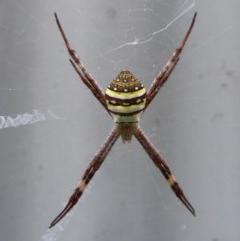 Argiope keyserlingi (St Andrew's Cross Spider) at Sanctuary Point - Basin Walking Track Bushcare - 20 Feb 2015 by christinemrigg