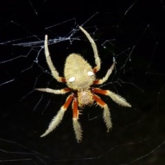 Eriophora transmarina (Garden orb-weaver) at Sanctuary Point, NSW - 23 Jan 2015 by christinemrigg