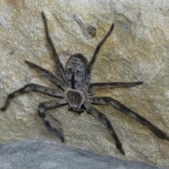Holconia immanis (Grey Huntsman) at The Basin Walking Track - 21 Nov 2014 by christinemrigg
