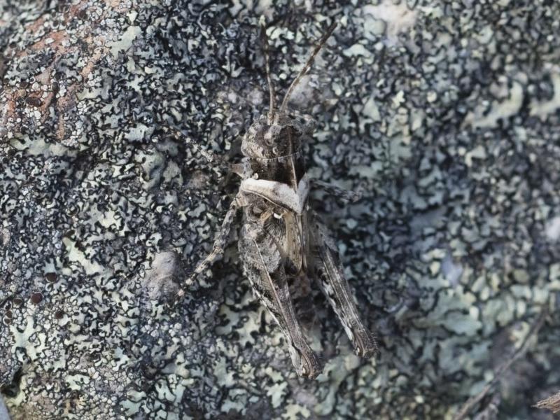 Heteropternis obscurella at Illilanga & Baroona - 12 Jan 2019