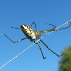 Leucauge dromedaria (Silver Orb Spider) at Saint Georges Basin, NSW - 24 Apr 2016 by christinemrigg