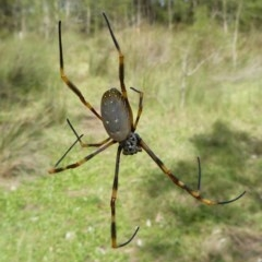Nephila plumipes (Humped golden orb-weaver) at The Basin Walking Track - 10 Apr 2011 by christinemrigg