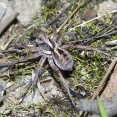 Tasmanicosa sp. (Wolf spider) at Woollamia, NSW - 8 Mar 2015 by christinemrigg