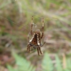 Eriophora sp. (Garden Orb-weaver) at Sanctuary Point - Basin Walking Track Bushcare - 21 Mar 2015 by christinemrigg