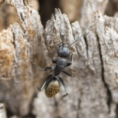 Camponotus aeneopilosus (A Golden-tailed sugar ant) at Illilanga & Baroona - 12 Oct 2018 by Illilanga