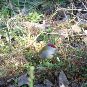 Neochmia temporalis at Red Hill Nature Reserve - 31 May 2019