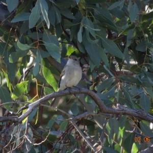 Pachycephala pectoralis at Red Hill Nature Reserve - 2 Jun 2019
