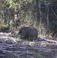 Vombatus ursinus (Wombat) at Mongarlowe River - 2 Jun 2019 by LisaH