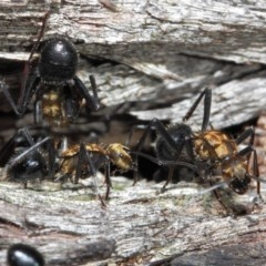 Polyrhachis semiaurata (A golden spiny ant) at ANBG - 2 Jun 2019 by TimL