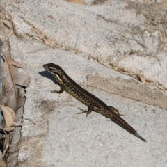 Eulamprus heatwolei (Yellow-bellied Water Skink) at Noreuil Park - 21 Apr 2018 by Damian Michael