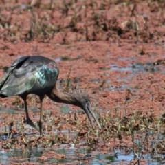 Plegadis falcinellus (Glossy Ibis) at Jerrabomberra Wetlands - 16 Oct 2011 by Marthijn