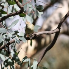 Smicrornis brevirostris (Weebill) at Red Hill Nature Reserve - 4 Jun 2019 by LisaH