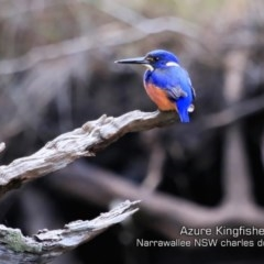 Ceyx azureus (Azure Kingfisher) at Garrad Reserve Walking Track - 28 May 2019 by Charles Dove
