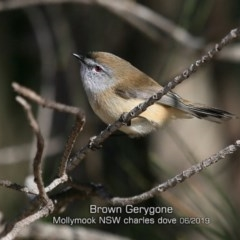 Gerygone mouki (Brown Gerygone) at Mollymook Beach, NSW - 29 May 2019 by CharlesDove