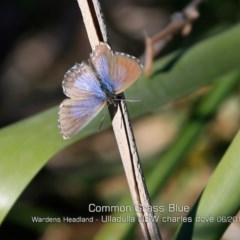 Zizina otis labradus (Common Grass-blue) at Coomee Nulunga Cultural Walking Track - 29 May 2019 by Charles Dove