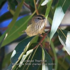 Acanthiza lineata (Striated Thornbill) at Mollymook, NSW - 29 May 2019 by Charles Dove
