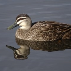 Anas superciliosa (Pacific Black Duck) at Lake Burley Griffin Central/East - 4 Jun 2019 by Mike