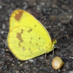 Eurema smilax (Small grass-yellow) at ANBG - 1 Jun 2019 by TimL