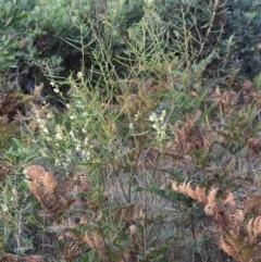 Acacia suaveolens (Sweet Wattle) at Wairo Beach and Dolphin Point - 5 Jun 2019 by NicholasdeJong
