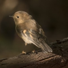 Petroica rodinogaster (Pink Robin) at ANBG - 5 Jun 2019 by Alison Milton