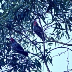 Callocephalon fimbriatum (Gang-gang Cockatoo) at Budgong, NSW - 5 Jun 2019 by Ry