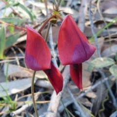 Kennedia rubicunda (Dusky Coral-pea) at Sanctuary Point - Basin Walking Track Bushcare - 8 Aug 2015 by christinemrigg