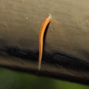 Hirudinidae sp. (family) at ANBG - 3 May 2019