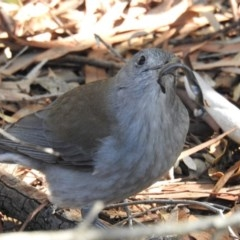 Colluricincla harmonica (Grey Shrike-thrush) at ANBG - 7 Jun 2019 by HelenCross